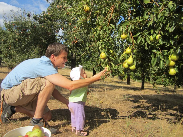 Picking pears - Ten Thousand Hour Mama